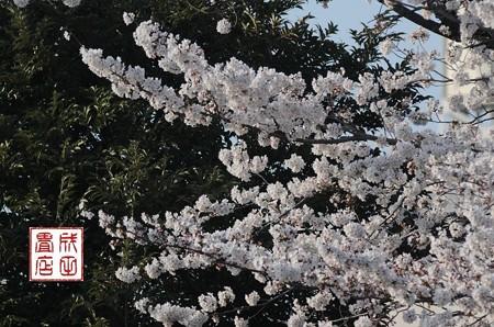高橋家さんの桜01