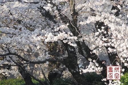 高橋家さんの桜04