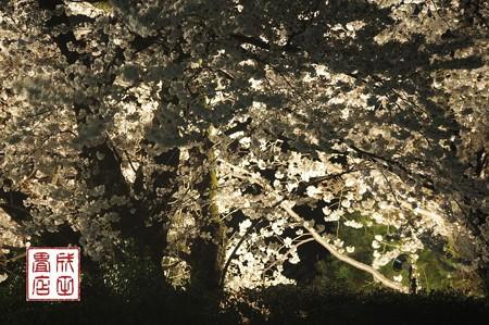 高橋家さんの桜07