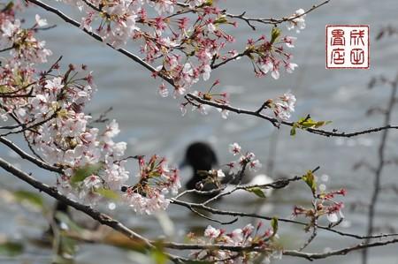 桜とキンクロハジロ01