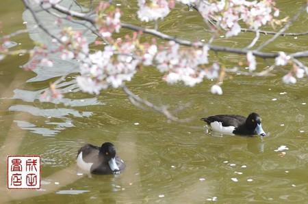 桜とキンクロハジロ04