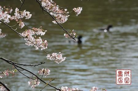 桜キンクロ01
