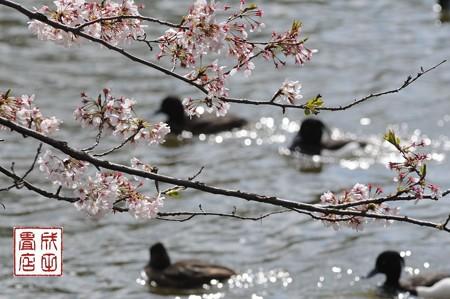 桜キンクロ02