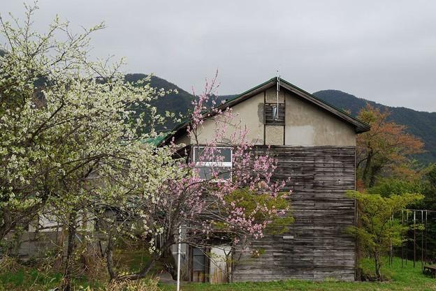 分校に咲く桜