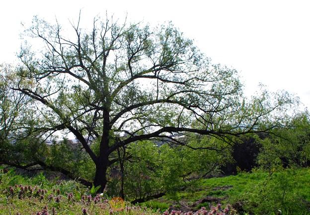 サクラの木