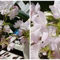 Photos: HITONちゃんから頂いた桜