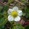 Photos: 130417-3 苺の花