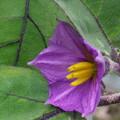 Photos: 131002-4 ナスの花