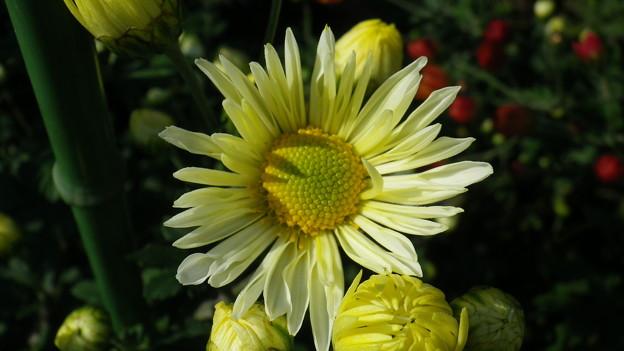 131030-3 薄い黄色い菊