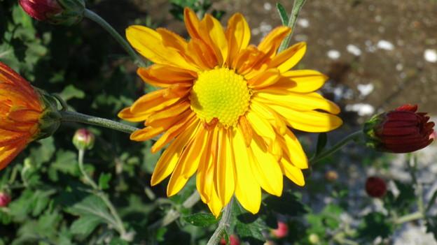 131030-4 黄褐色の菊