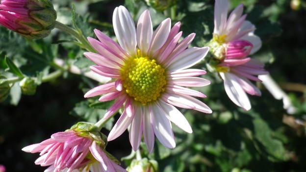 1310-30-5 ピンクと白の菊