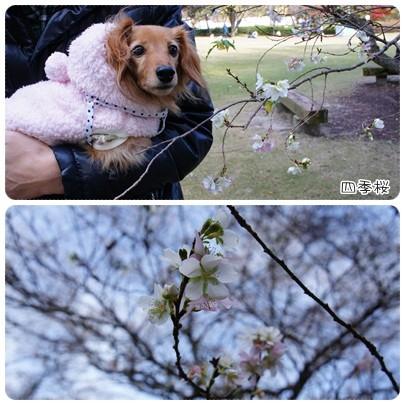 20121124 四季桜