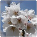 20130330 桜