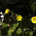庭の福寿草 三姉妹