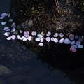 曲水に梅の花びら