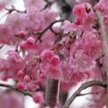 八重 紅枝垂れ桜?