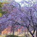 八重 紅枝垂れ桜