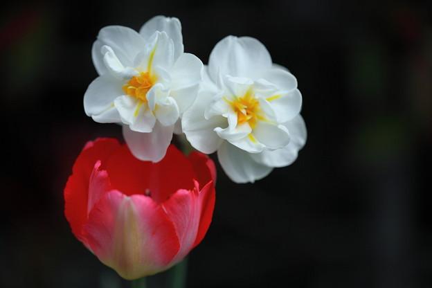 八重の水仙とチューリップ  2対1 美しさの競演 (@^-^)