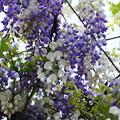 フジ  紫と白の共演