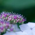 ガクアジサイの花と蕾?
