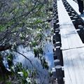 尾瀬  水芭蕉と木道