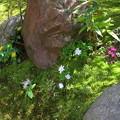 庭の山野草(1)