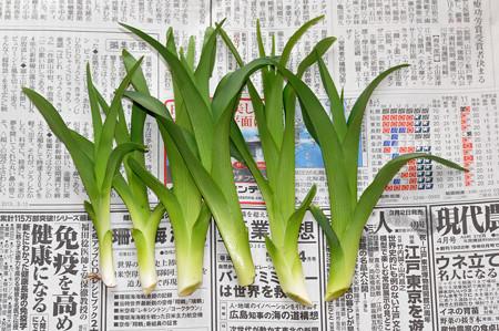 山菜 カンゾウ