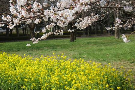 小金井公園のソメイヨシノ