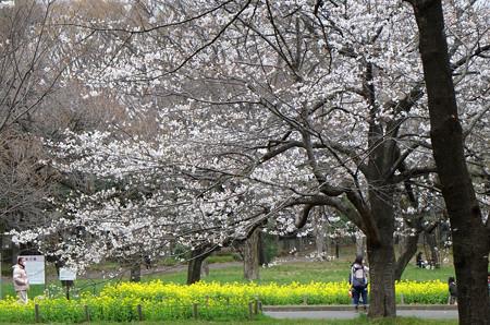小金井公園 桜と菜の花