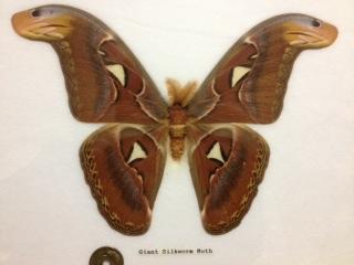 世界最大の蛾、ヨナクニサン