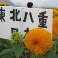 Photos: 東北八重