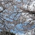 青空と桜。