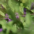 紫に 白翁さんの 心意気
