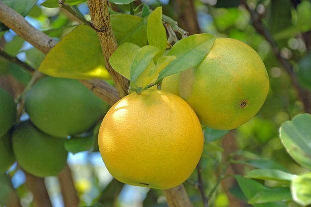 グレープフルーツ(Kauai)