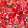目木の紅葉