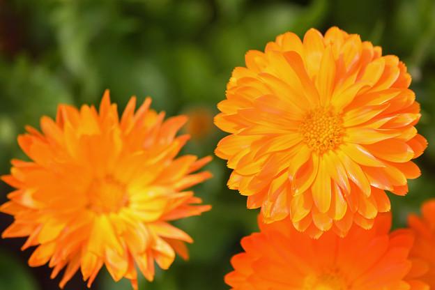金盞花-4
