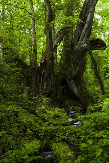 太古の巨木