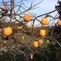 Photos: 残った柿