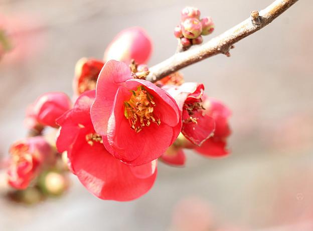 早春の花 緋ボケ