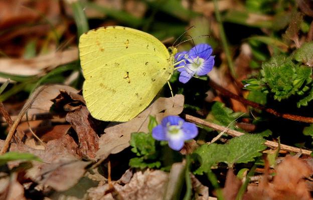 黄蝶とオオイヌノフグリ