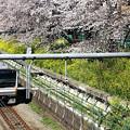 中央線の桜