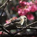 桜には目もくれずコゲラ