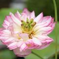 奇形な蓮の花