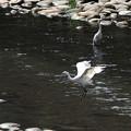 コサギの舞う河原