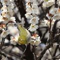 Photos: 花から花へ・・メジロ