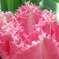 ピンクの誘惑