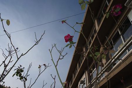 学校のバラ