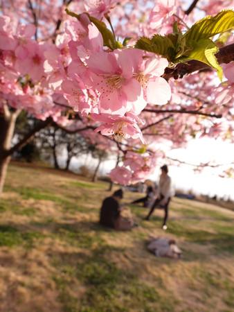 河津桜2_provia