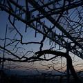 Photos: ぶどうの木