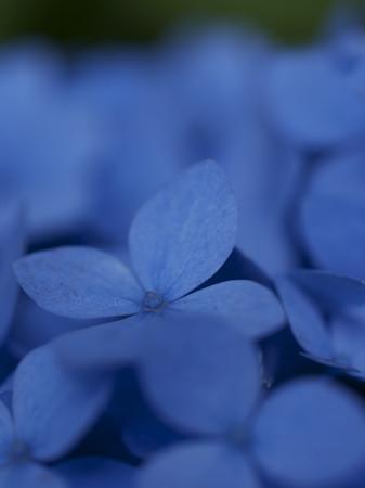 GXR_紫陽花